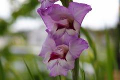 一朵华美的紫色剑兰花的顶视图被隔绝反对绿色叶子背景  美好的背景 免版税图库摄影