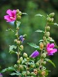 一朵华美的花创造从紫罗兰色的各种各样的颜色变粉红色 图库摄影