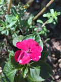 一朵可爱的桃红色花 库存照片