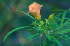 一朵唯一俏丽的桃子花,盖用从清早阵雨的雨下落,在泰国庭院公园 免版税库存图片