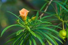 一朵唯一俏丽的桃子花,盖用从清早阵雨的雨下落,在泰国庭院公园 库存照片
