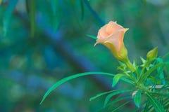 一朵唯一俏丽的桃子花,盖用从清早阵雨的雨下落,在泰国庭院公园 免版税库存照片