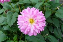 一朵唯一开花的大丽花达莉亚花的特写镜头与瓣的在从白色的颜色梯度到桃红色 免版税库存图片