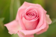 一朵唯一桃红色玫瑰的特写镜头 库存图片