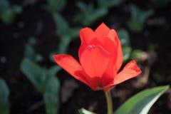 一朵唯一红色郁金香花有被弄脏的背景在利瑟, ne 免版税库存图片