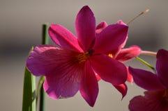 一朵唯一花的兰花石斛兰属莓果Oda桃红色红色照片 自然兰花植物的生物Phytology开花植物 免版税库存图片