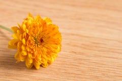 一朵唯一黄色菊花的宏观射击 免版税图库摄影