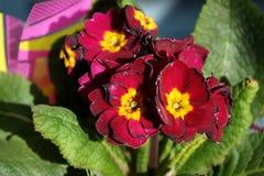 一朵园林植物紫罗兰的花 免版税图库摄影