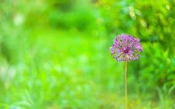 一朵圆的紫色桃红色庭院葱属花、头从葱和大蒜家庭的特写镜头在超级模糊的绿色庭院背景 免版税库存照片