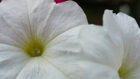一朵夏天白色蝴蝶花的美好的宏指令与黄色花粉的 库存照片