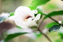 一朵夏天花的芽在绿色背景的 免版税库存图片