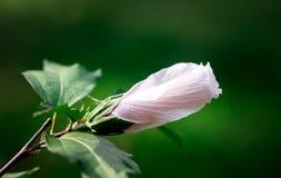 一朵夏天花的芽在绿色背景的 库存照片