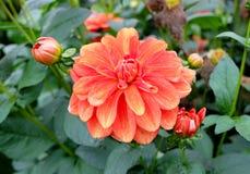一朵多彩多姿的大丽花达莉亚花在庭院里,充分地开花与变化的颜色的瓣,从红色到桔子和黄色 免版税库存照片