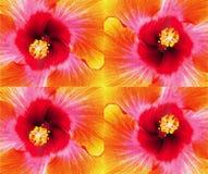 一朵多彩多姿的木槿花的四个盘区特写镜头 免版税库存照片