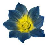 一朵大丽花的明亮的蓝色花在白色的隔绝了与裁减路线的背景 为设计,纹理,明信片,封皮开花 免版税库存照片