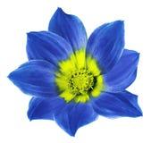 一朵大丽花的明亮的蓝色花在白色的隔绝了与裁减路线的背景 为设计,纹理,明信片,封皮开花 库存照片