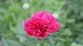 一朵大和美丽的伯根地牡丹花在夏天开了花在装饰庭院里 r