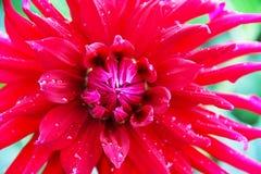一朵大大丽花花是与雨珠的明亮的红色在瓣 照片被采取的特写镜头 库存照片