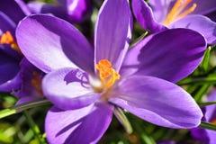 一朵大开紫色和白色番红花 免版税库存图片