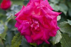 一朵大明亮的桃红色玫瑰的特写镜头与叶子的在背景 库存图片