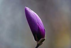 一朵大木兰花的紫色芽 图库摄影
