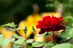 一朵大深红开花的玫瑰,在与叶子的明亮的黄色背景 库存照片
