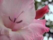 一朵奇妙白色和玫瑰色花的特写镜头 免版税图库摄影