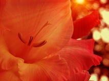一朵奇妙白色和玫瑰色花的特写镜头 图库摄影