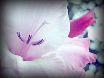 一朵奇妙白色和玫瑰色花的特写镜头 免版税库存图片