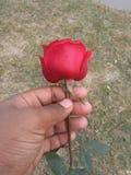 一朵好的玫瑰色花 免版税图库摄影