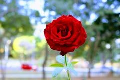 一朵孤独的血淋淋的红色玫瑰 库存图片