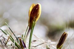 一朵孤立黄色番红花在春天,在干草增长 免版税库存照片