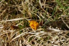 一朵孤立黄色番红花在春天,在干草增长 库存照片