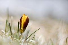 一朵孤立黄色番红花在春天,自然本底 库存图片
