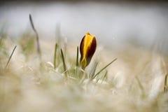 一朵孤立黄色番红花在春天,自然本底 库存照片