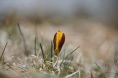 一朵孤立黄色番红花在春天,自然本底 免版税库存照片