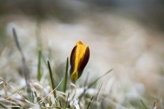 一朵孤立黄色番红花在春天,自然本底 免版税库存图片