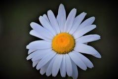 一朵完善的白色&黄色雏菊!!! 免版税库存照片
