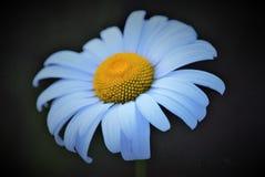 一朵完善的白色&黄色雏菊!!! 免版税库存图片