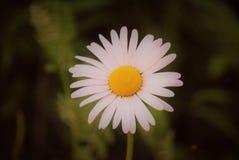 一朵完善的白色&黄色雏菊!!! 库存图片