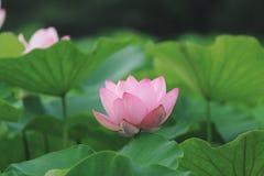一朵尊严的莲花 库存照片