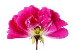 一朵小桃红色玫瑰花的夏天芽内在裁减  图库摄影
