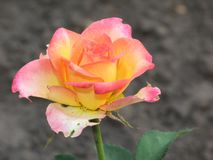 一朵小桃红色黄色玫瑰花 库存照片