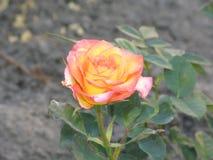 一朵小桃红色黄色玫瑰花 库存图片