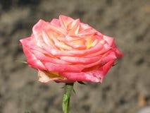 一朵小浅粉红色的玫瑰色花 库存照片