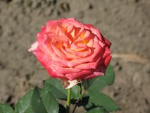 一朵小浅粉红色的玫瑰色花 免版税库存照片