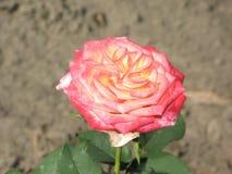 一朵小浅粉红色的玫瑰色花 库存图片