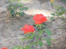 一朵小猩红色玫瑰花 图库摄影