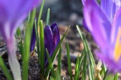 一朵小的紫色春天番红花 图库摄影