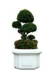 一朵小盆景树和西部印地安人茉莉花(ixora)在一个陶瓷罐 查出 库存图片
